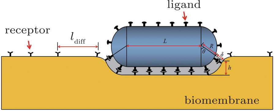 Enhanced Effect Of Dimension Of Receptor Ligand Complex And